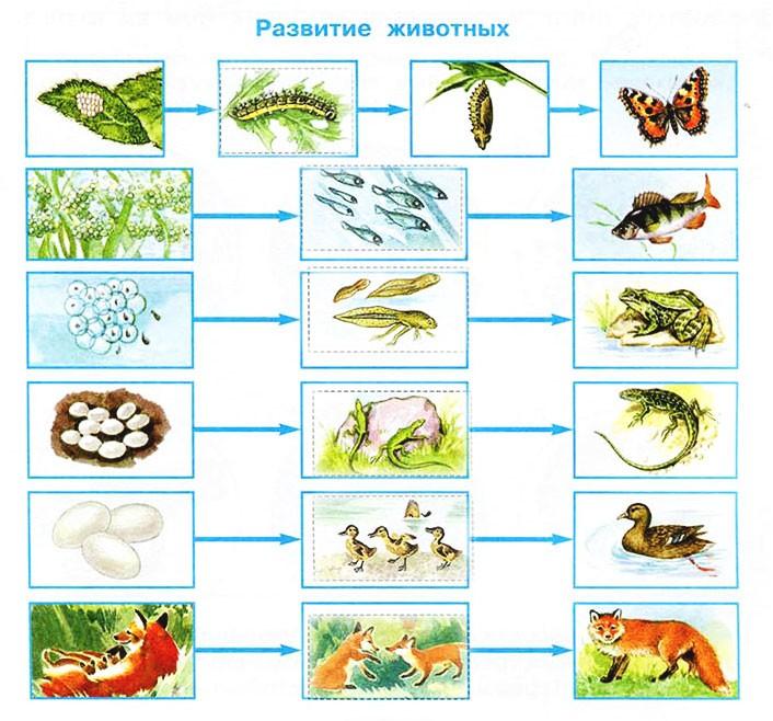 Размножение и развитие животных - Плешаков 3 класс 1 часть. Рабочая тетрадь