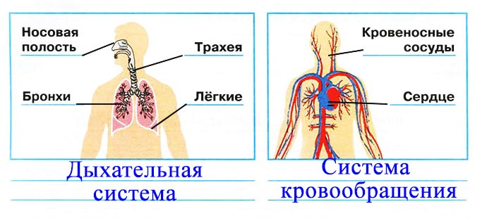 Дыхание и кровообращение - Плешаков 3 класс 1 часть. Рабочая тетрадь