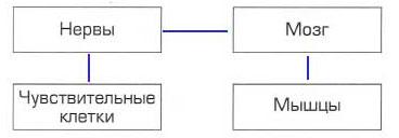 Тема 9. Почему наш организм работает слаженно - Вахрушев 4 класс 1 часть. Рабочая тетрадь